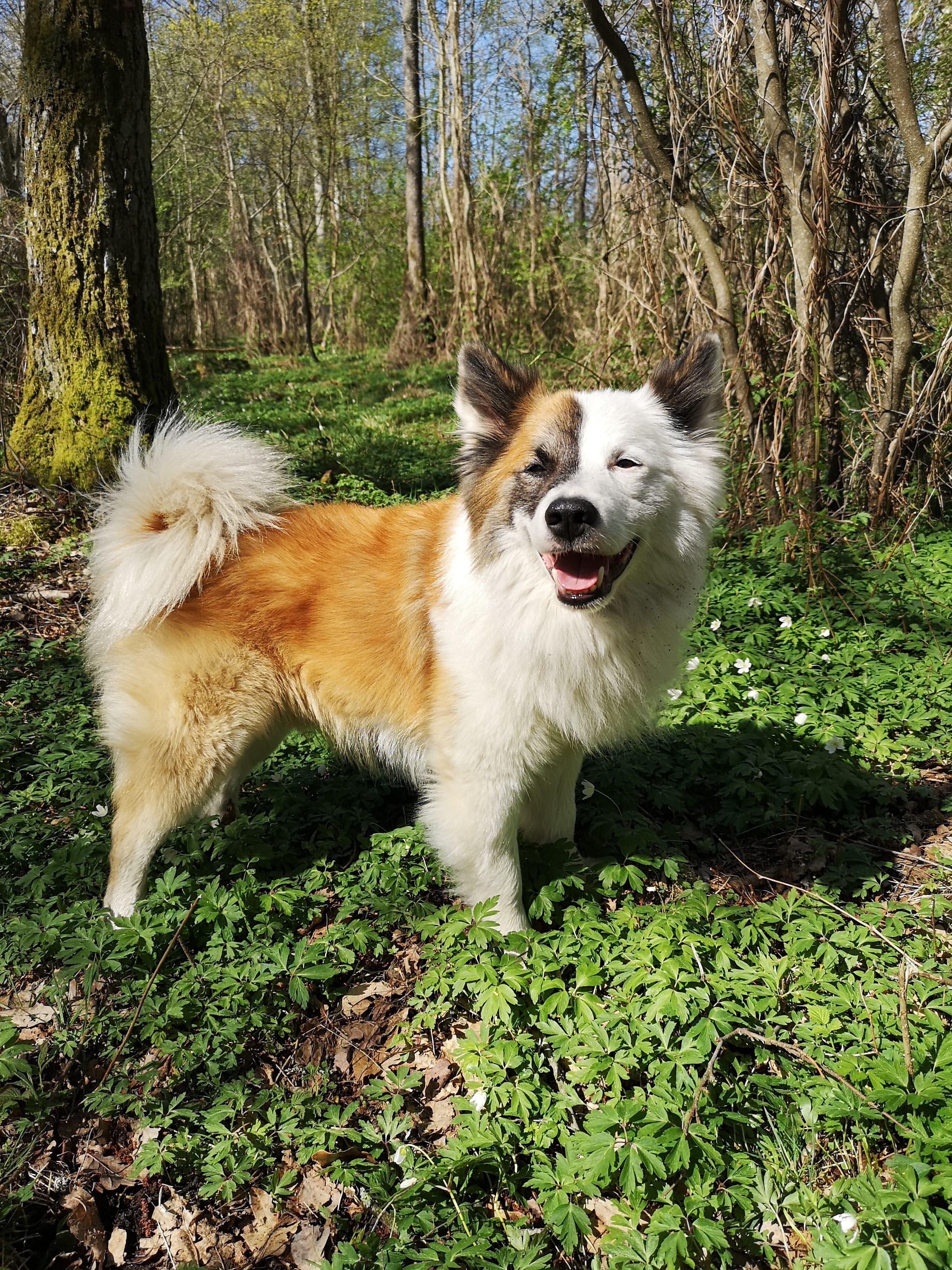 Joker, Isländsk fårhund